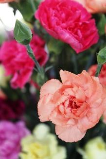 carnation1Sized
