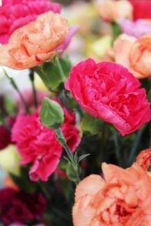 Carnation2sized