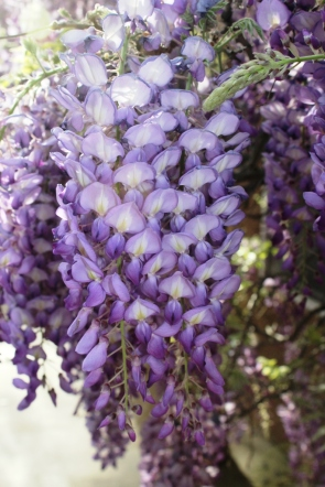 WisteriaCloseUpSized